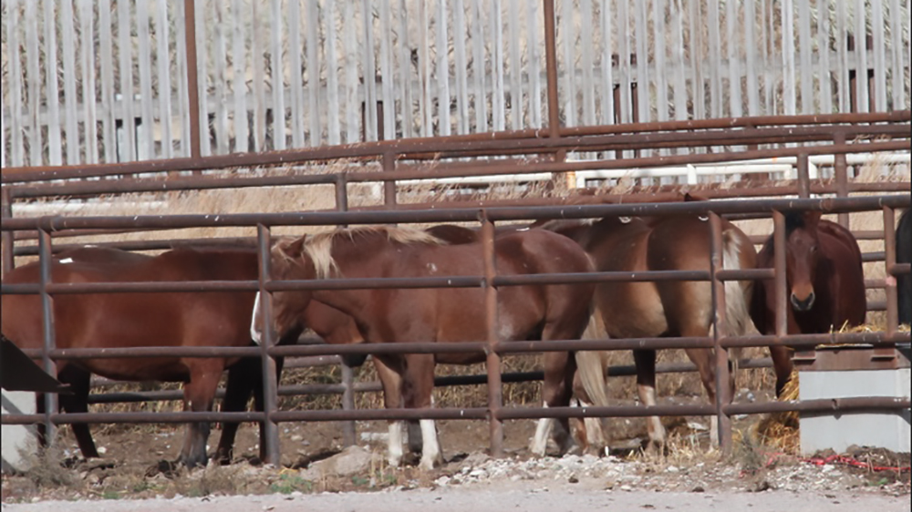 cavalli in tavola dal canada al giappome